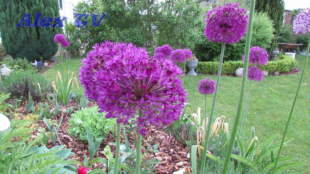 Kugel Lauch / Purple Sensation / Zierlauch im Garten.