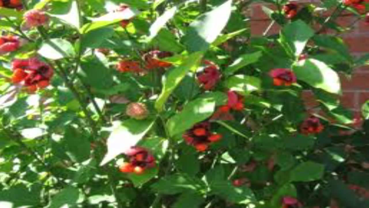 Strawberry Bush For Sale 1 89 At Tn Online Tree Nurseries