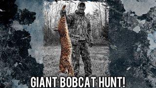 Bobcat hunting in Arizona desert not a mountain lion hunting, a bobcat