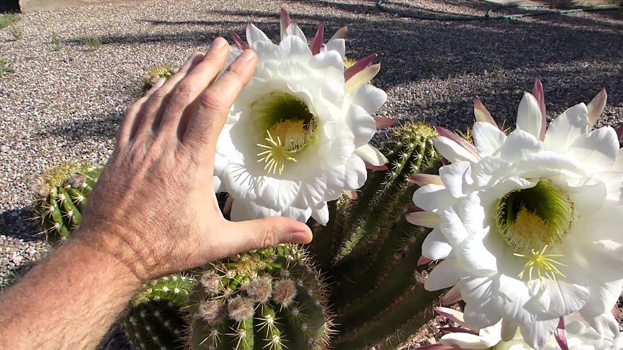 Argentine giant cactus youtube for Cactus argentina