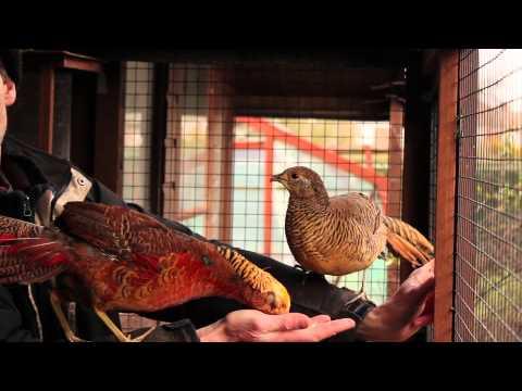 Hand tame golden pheasants in my aviary
