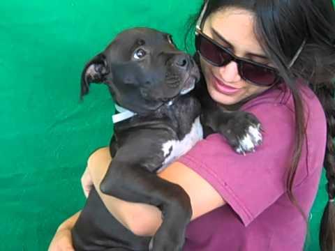 A4853842 Oatmeal   Pit Bull Mix Puppy