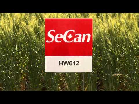 SeCan HW612  hard white wheat Travel Video