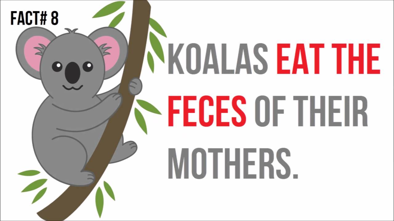 top 20 interesting facts about koalas - YouTube