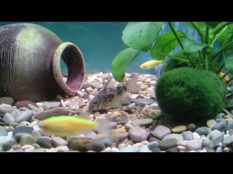 Тритоны в аквариуме
