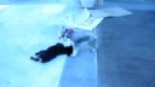 Miniature Schnauzer Vs Rottweiler Puppy