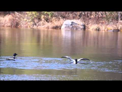 Mating Loons