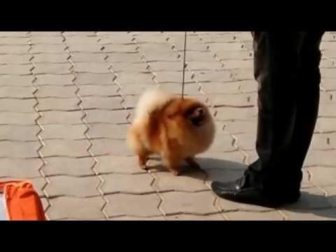 Toy Pom DOG SHOW // toy pom// DOGGYZ WORLD