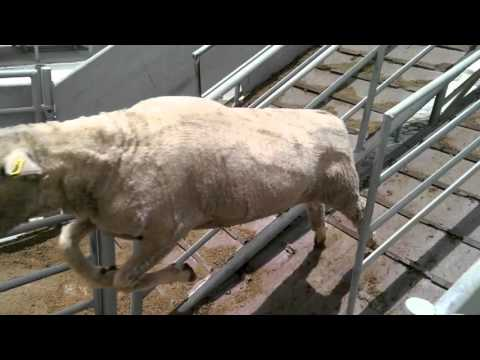 Emirates Livestock & Meat Trading Co. - Sheep sorting
