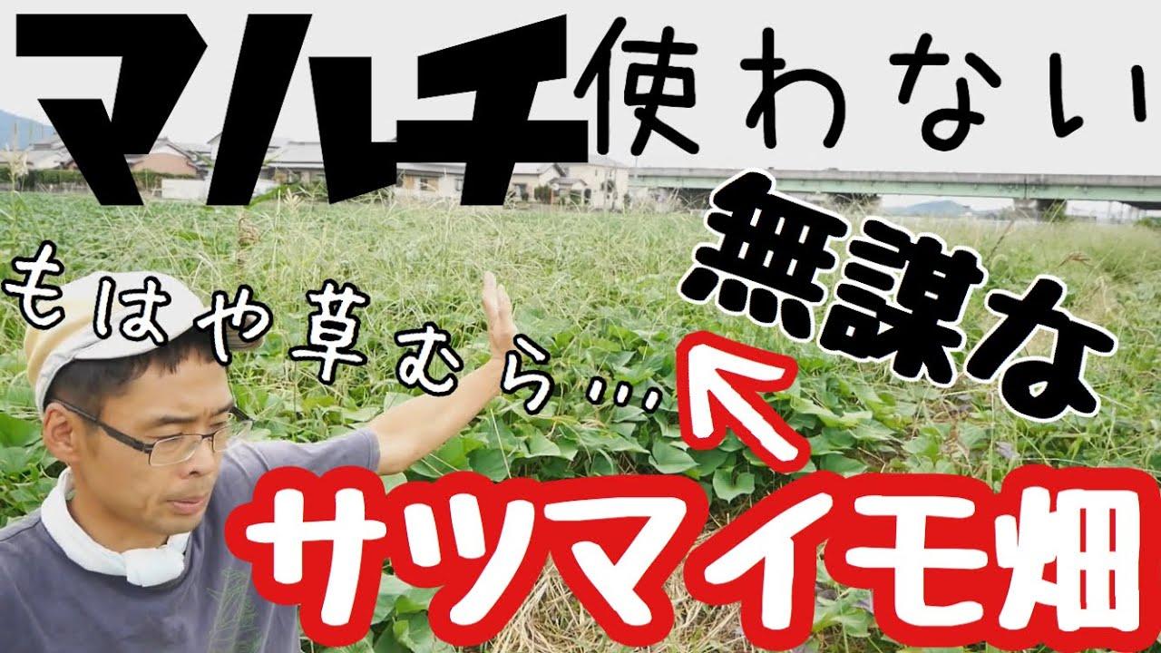 無肥料マルチ無しのサツマイモ試し掘りと除草作業【自然農の畑】2020年9月23日