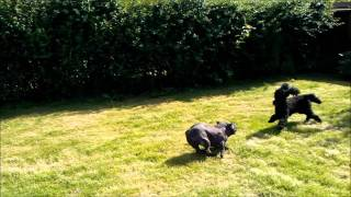 French Bulldog Playing With Poodle