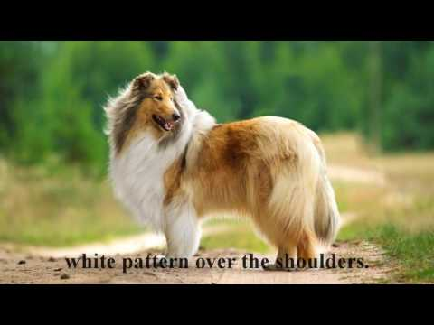 The origin and history of the Collie dog