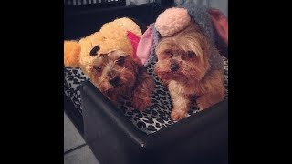 Best Funniest Yorkie Compilation -  Funny Dogs Videos