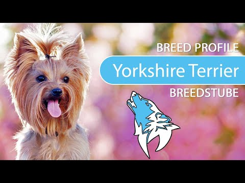 Yorkshire Terrier [2021] Breed, Temperament & Personality