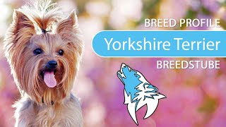 Yorkshire Terrier Breed, Temperament & Personality