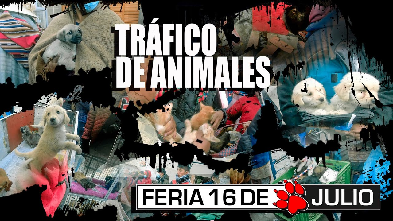 Download Sector COMPRA y VENTA de ANIMALES, Feria 16 de julio | ¿En qué condiciones los tienen?
