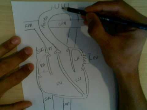 Cardiophysiology 1: Blood flow through the heart