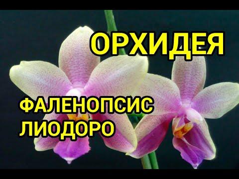 Ароматная ОРХИДЕЯ Лиодоро/Liodoro. Пересадка в пеностекло + орхиата