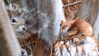 Transformer Screech Owl SmackDown Of Annoying Squirrel - Extended Version