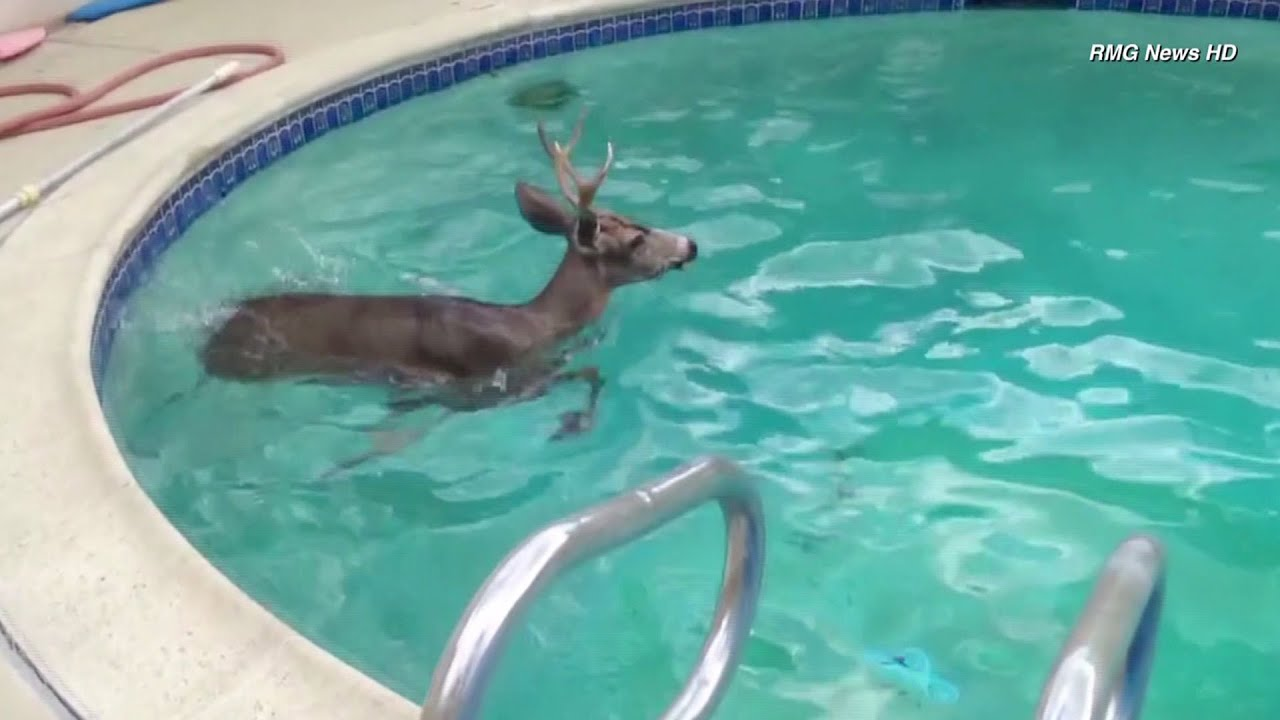 Deer Goes For Swim In Backyard Pool At Encino Home   YouTube Part 49