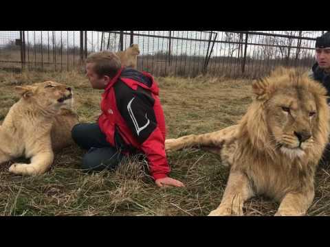 Как говорят львы