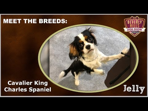 The Beverly Hills Dog Show: Meet The Breeds - Cavalier King Charles Spaniel