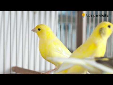 Download Lagu 7 Langkah Mudah Cara Ternak Burung Kenari bagi Pemula