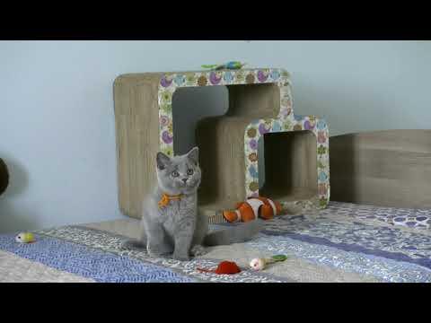 British kitty Regina High Class*RU