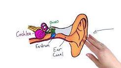 Parts of the ear - Intro to Psychology