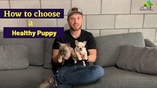 How Do I Choose a Healthy Pup?: French Bulldog, Frenchton and Mini Olde English Bulldog