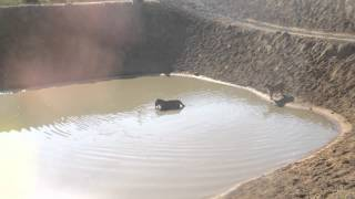 AV - Harbin Tiger Park (domestic duck)