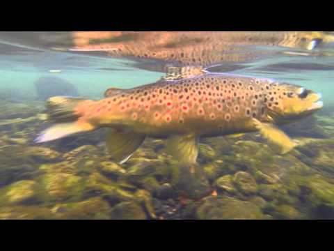 Talkin' Outdoors: Little Red River Brown Trout