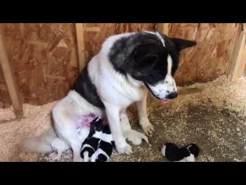 American Akita puppies 3 days old