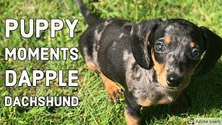 Dapple Dachshund puppy  living with a sausage dog