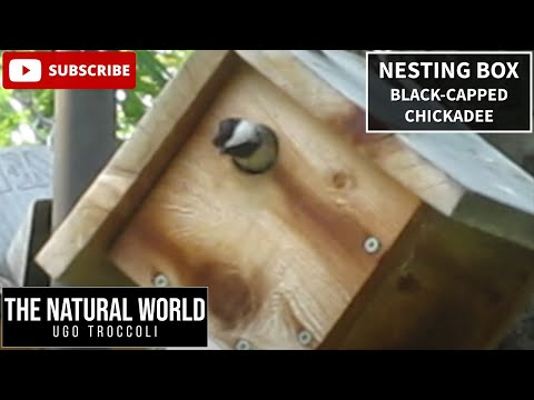 Black-capped Chickadee nesting box