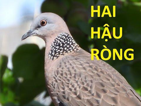 Tiếng chim cu gáy 2 hậu ròng (tập bổi mới)