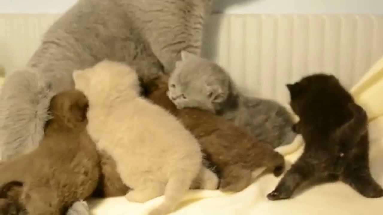 Koty brytyjskie, kociątka brytyjskie miot U