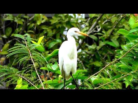 বাংলাদেশ এর সাদা বক পাখির খাবার সংগ্রহের একটি অসাধারন ভিডিও | White Heron birds in bangladesh | HD