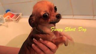 Щенок чихуахуа плавает на руках хозяйки  Собака учиться плавать