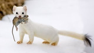 The Stoat  a fearless acrobat and rabbit hunter! Interesting facts about Stoats