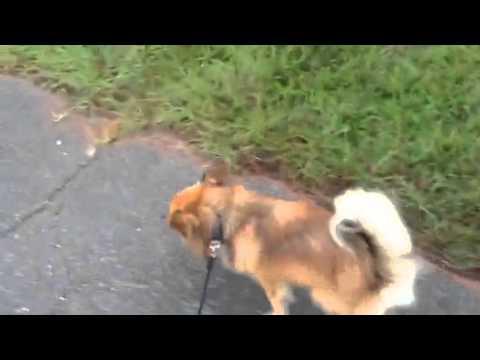 My New Dog Stanley The Paperanian Papillon Pomeranian Mix Youtube