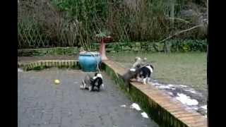 Sheltie Welpen (8 Wochen) Beim Spielen / Shetland Sheepdog Puppies (8 Weeks Old)