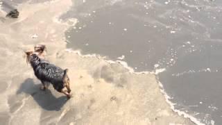 茨城県の大洗海岸ではしゃぐヨークシャーテリア.