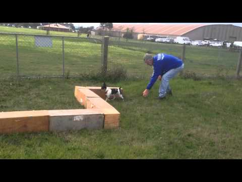 Tenterfield Terrier learns Earthdog for the first time 6