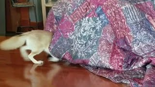 Fennec Foxes Tunnel through Anything!!
