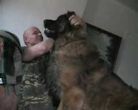 Hercules one of the worlds biggest dogs!!! - YouTube