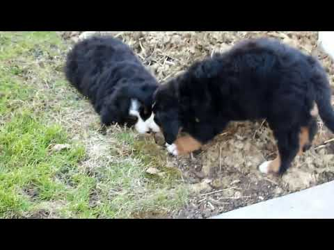 Bernese Mountain Dog Puppies For Sale  Karen Horst