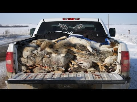 Best Ever Coyote Calling Secret Revealed! Predator Calling Advice!