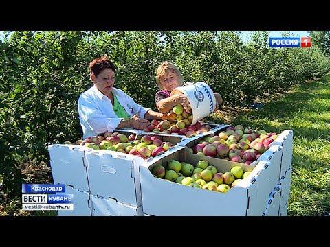 Сбор яблок летних сортов начался на Кубани
