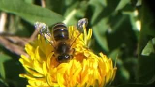 La vie des abeilles broyardes - The live of bees